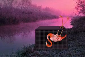 救援粉红色的火烈鸟